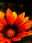 Orange flower by anatre
