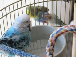 Bathing Budgies 7 by Windthin