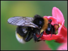 Bumble Bee by cycoze