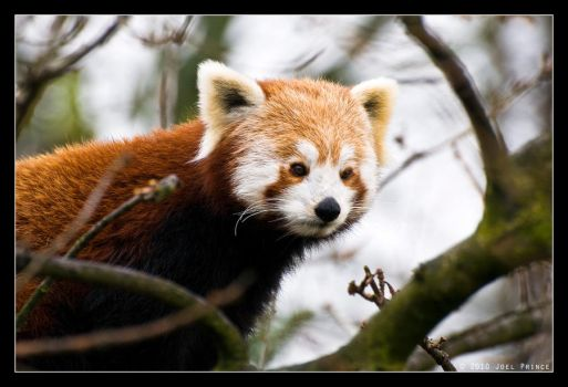 Red Panda 74-210 by Prince-Photography