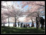 Cherry Blossom Festival DC by Paperback-writer-00