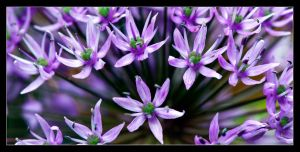 Allium explosion by LordLJCornellPhotos