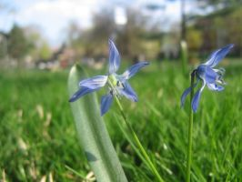 blue flowers 003 by CotyStock