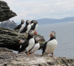 *Puffins* by Delice1941