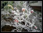 Frost by Zorica76