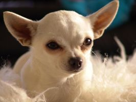 Crystal..... The Chihuahua by Nivin