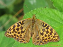 Silver-washed Fritillary (female) by Terrydunk