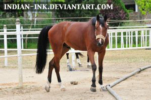 Cherry Bay Hanoverian 1 by Indian-Ink