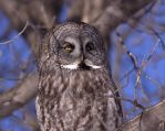 Great Grey Owl #2 by dove-51