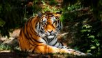 The Siberian Tiger IV by PictureByPali