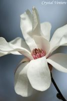Royal Star Magnolia by poetcrystaldawn