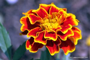 Marigolds FTW by chris-stahl