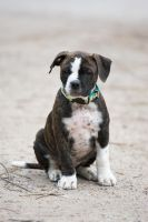 Kimbo the Olde english bulldogge puppy by graynd
