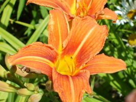 Flowers - Orange Lily 2. by MystStock