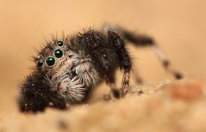 Jumping spider by shalomsalam