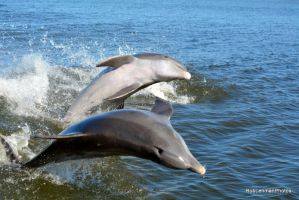 Bottlenose Dolphins 02 by RobLehmanPhotos