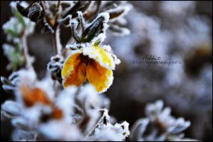 Frosty flower. by Hanibabe