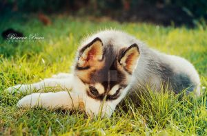 Playful  Baby Husky by sibeworld