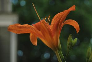 Tiger Lily 5 by coffeenoir