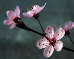P.L.U.M. Blossoms 2 by andras120