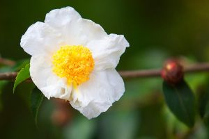 Camellia yunnanensis by secondclaw