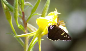 Black Butterfly by PatGoltz