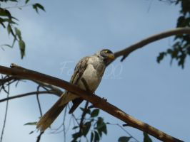 Noisy Miner by FerrerTriple0
