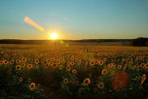 Sunset and sunflowers by johnpaul51