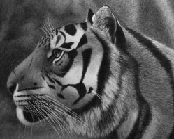 Tiger Profile, pencil by Panthera11