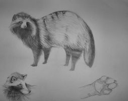 animal sketches - raccoon dog by ereptor