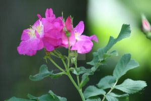 Pink Rose II by AstronSoul