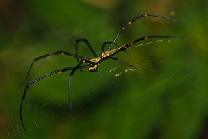 Balinese spider by AngiWallace