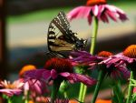 tiger swallowtail on flower by knightstrobe