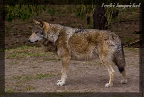 Wolf stance I by Wodenswolf
