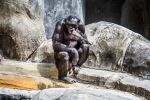Great Apes by 904PhotoPhactory