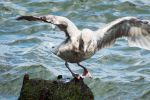 East River gull landing by wildplaces