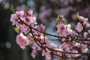 Peach Blossoms Stock 3 by African-Amber