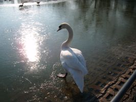 Swan in the sunlight 3 by Tigzzz