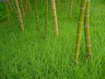Bamboo ID by x-pyre12