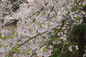Pink Cherry Blossoms by unseeliefae