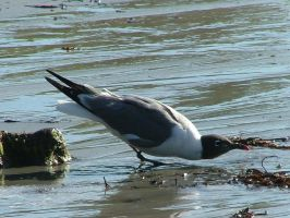 Laughing Gull Drinking II by SlateGray