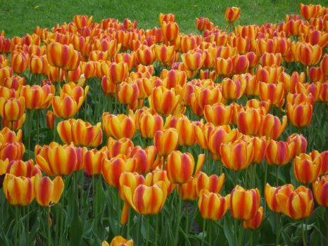 Tulips by AlaniGranchester