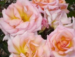 Pretty Pink Roses by Eadlin