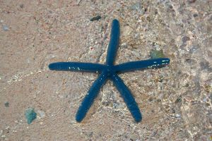 Blue starfish by AngiWallace