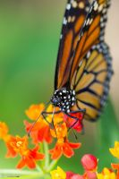 Beautiful monarch butterfly by CyclicalCore