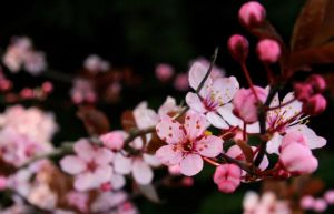 Cherry Blossoms by purpleplatapus714