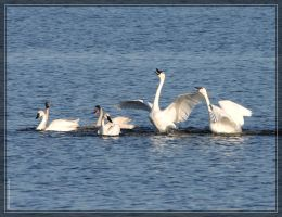 Tundra Swans 40D0032975 by Cristian-M