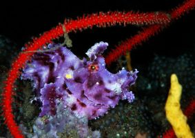 Purple Weedy Scorpionfish by LazyDugong
