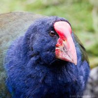 Takahe by ARC-Photographic