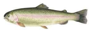 Rainbow Trout by Powelly74